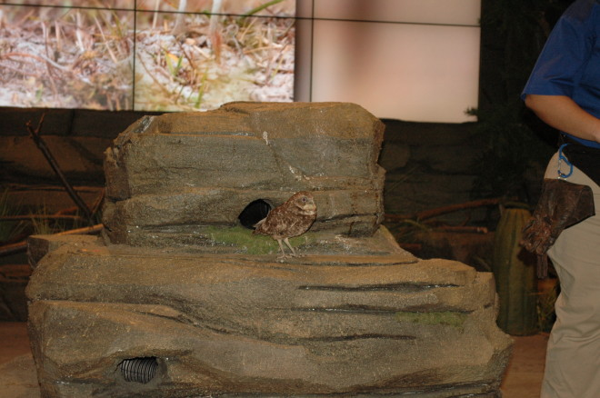 Avairy Nature's Voice Burrowing Owl