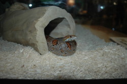 A milk snake greets guests at the Field Station portion of the museum's H2Oh! exhibit. Photo credit Bridget Feral