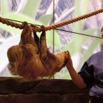 "Cathy Schlott feeds Valentino, a Linnaeus' Two-toed Sloth during a media presenatation of ""Amazing Amazon."" Photo credit: Neil Strebig"